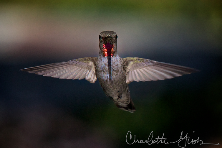 Anna's Hummingbird Checking Me Out