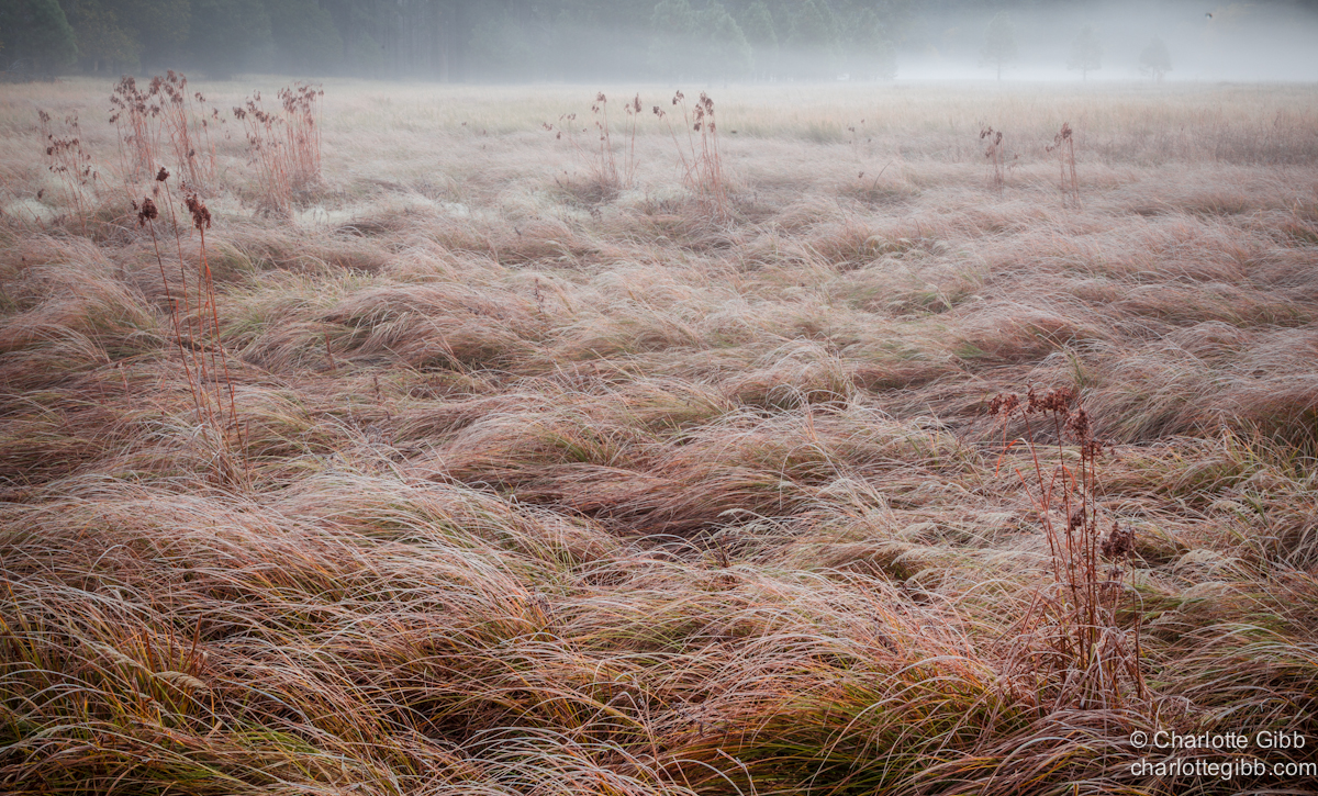 Meadow Grass in the Morning Mist copy