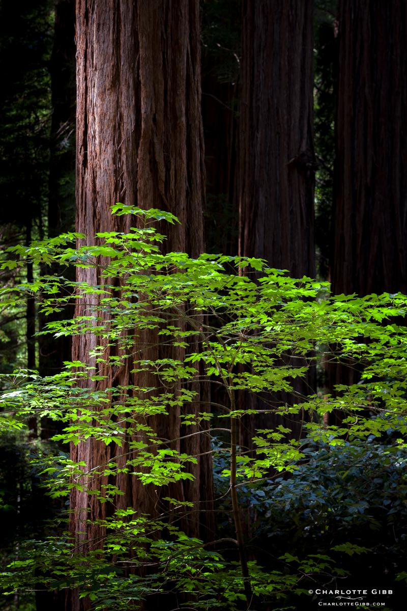 Muir Woods in Spring
