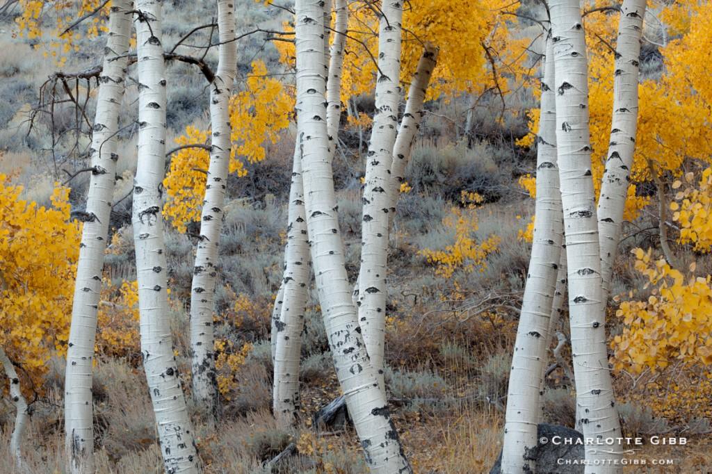 Dancing Aspen Trees