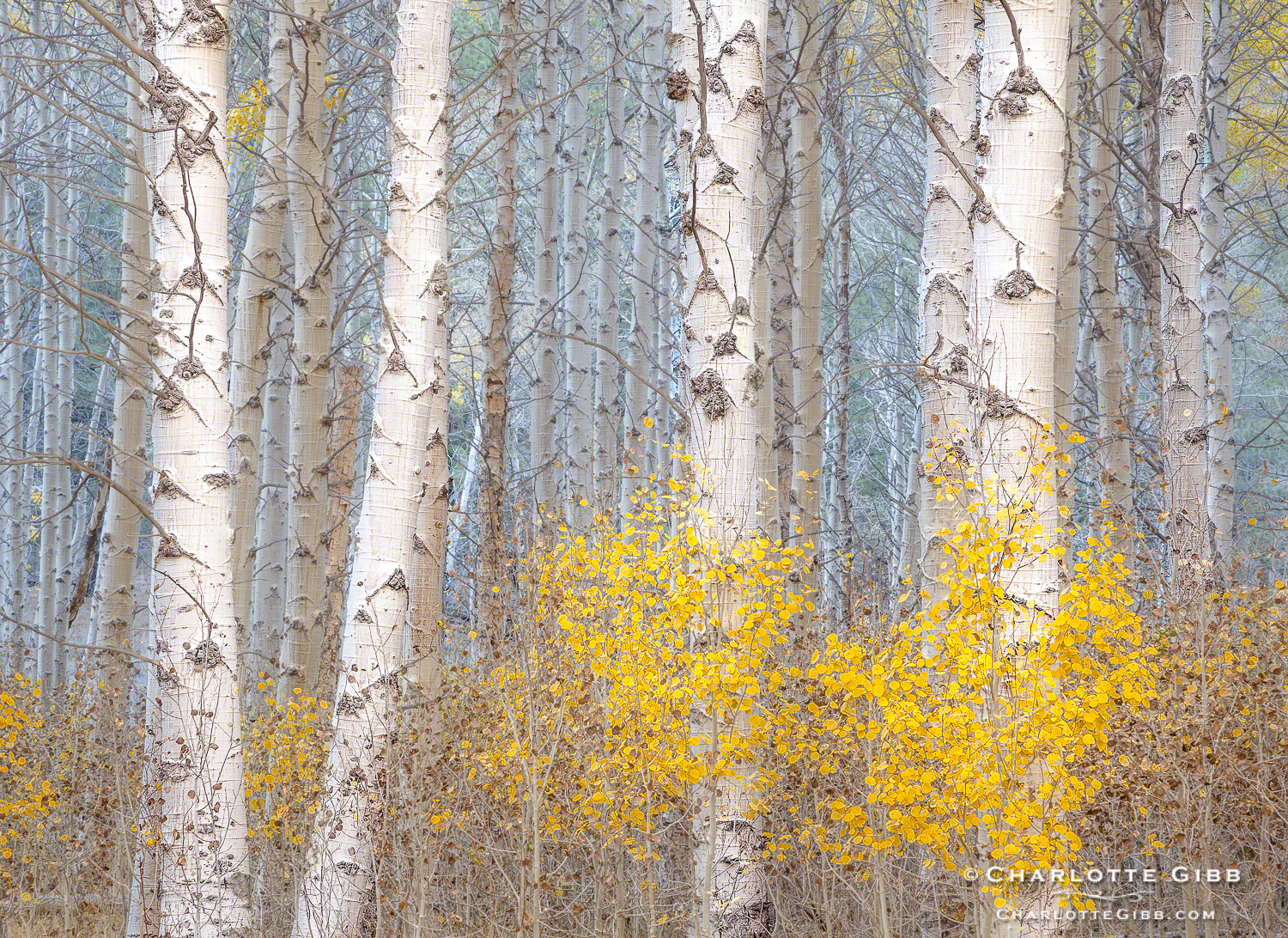 Aspens in Blue Light 2013