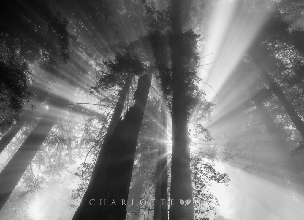 Godbeams, Redwood National Forest, June 2014