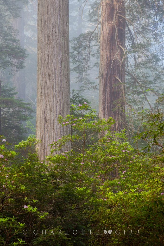 Twins, Redwood National Park, June 2014