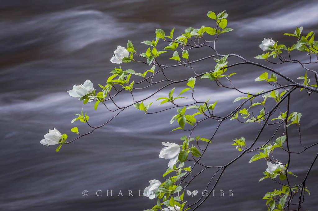 Dogwoods in May, Yosemite Valley, 2014