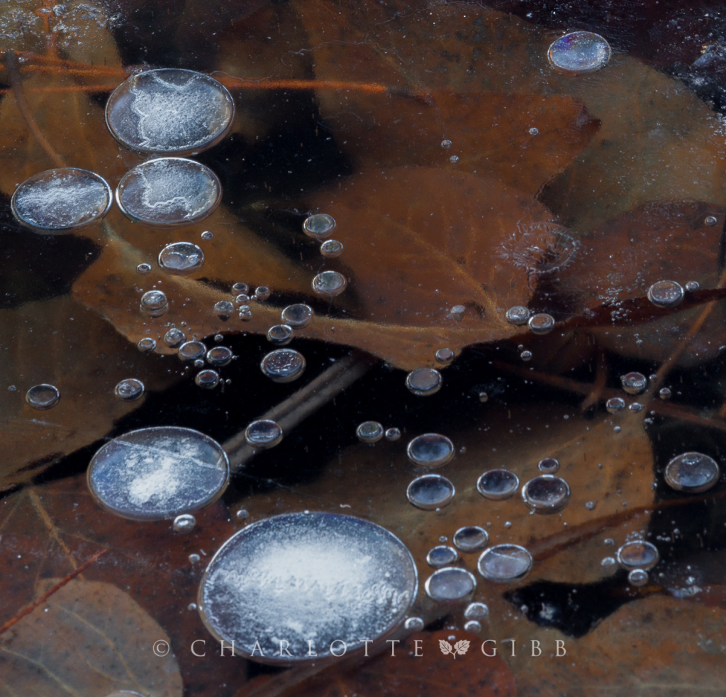 Ice Bubble and Leaves, February 2014