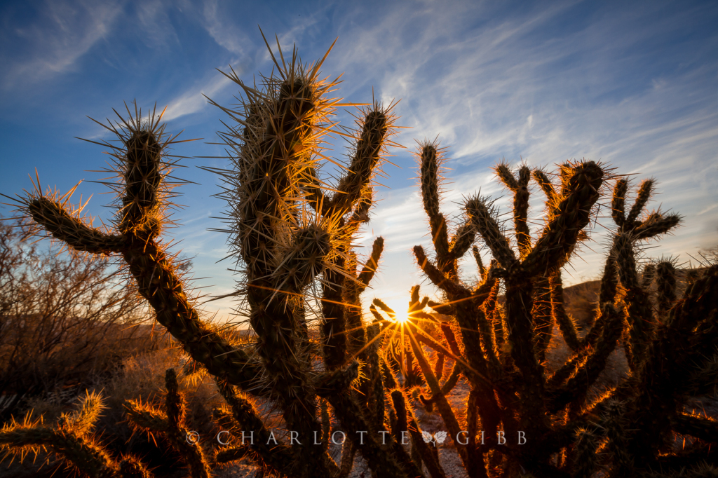 Cactus Morning Dance, Anza Borrego, February, 2014