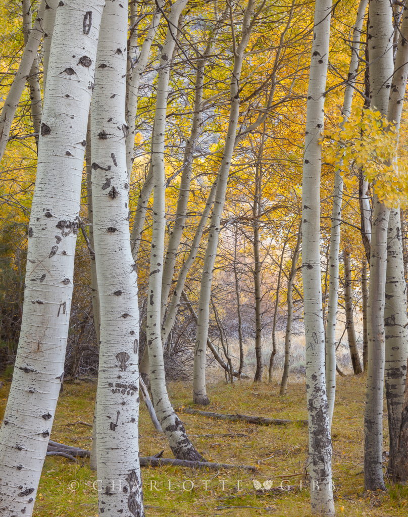 Within the Aspen Grove, Eastern Sierra, October, 2014