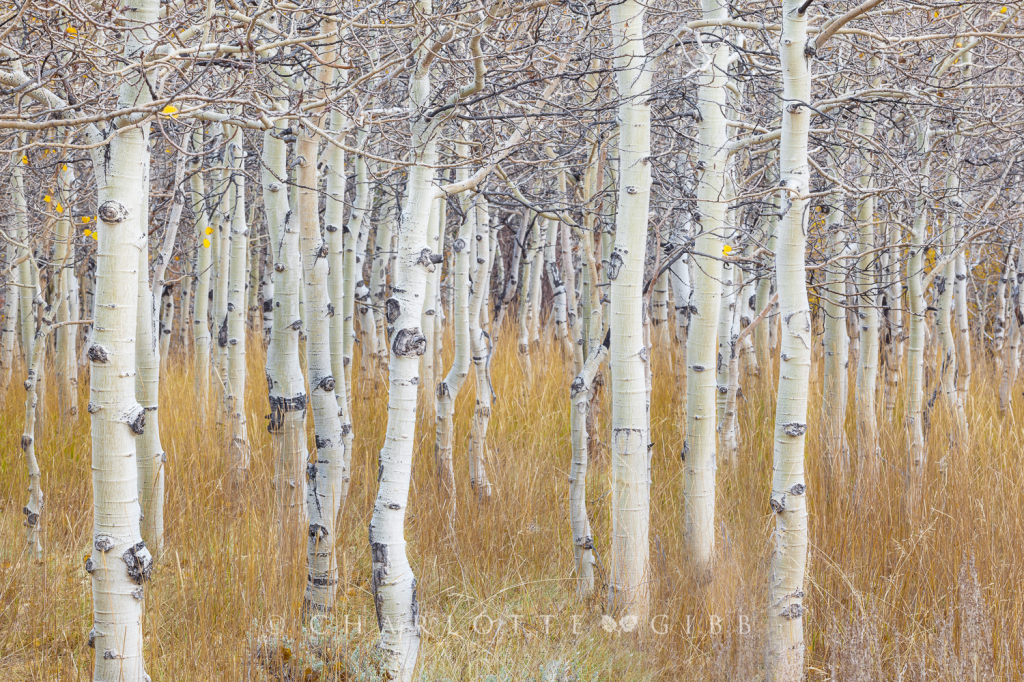 Young Aspens, October, 2014