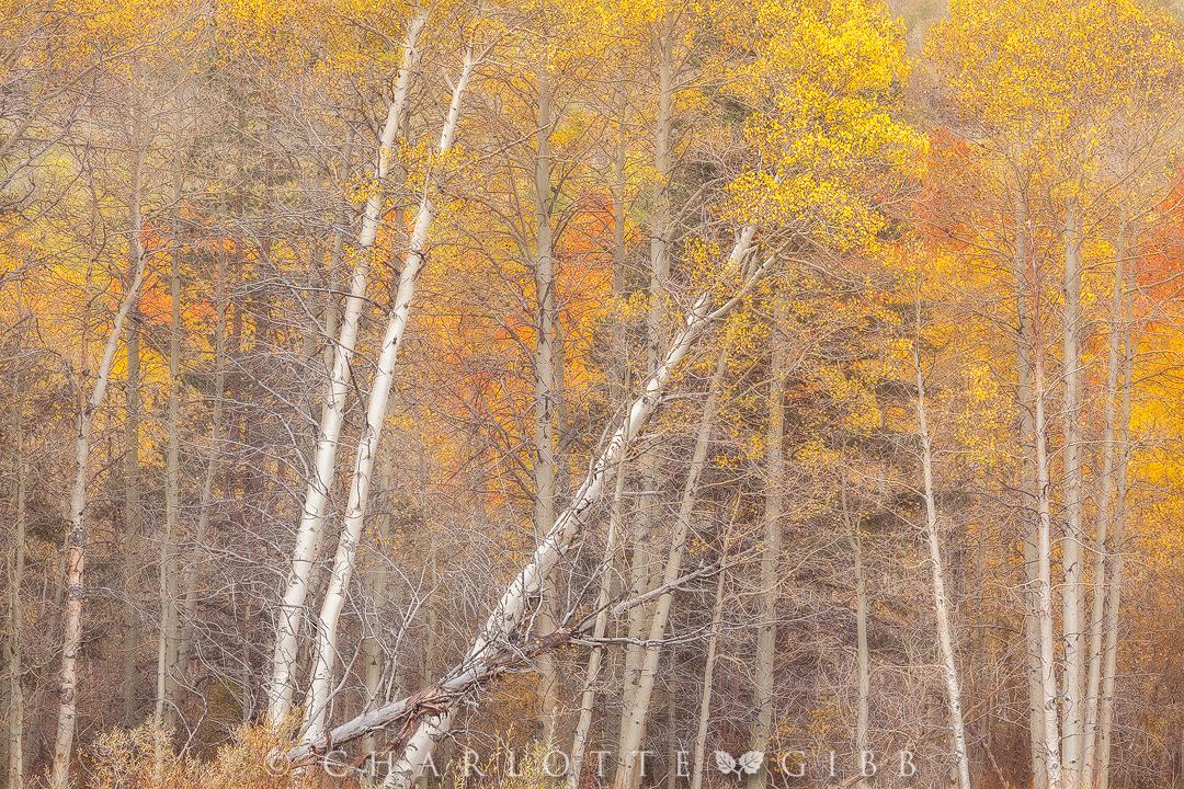 Autumn-Tango