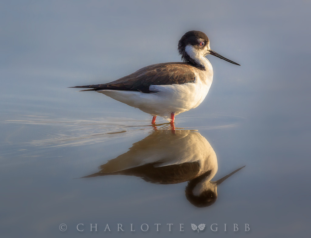 Black-Necked-Stilt-portrait