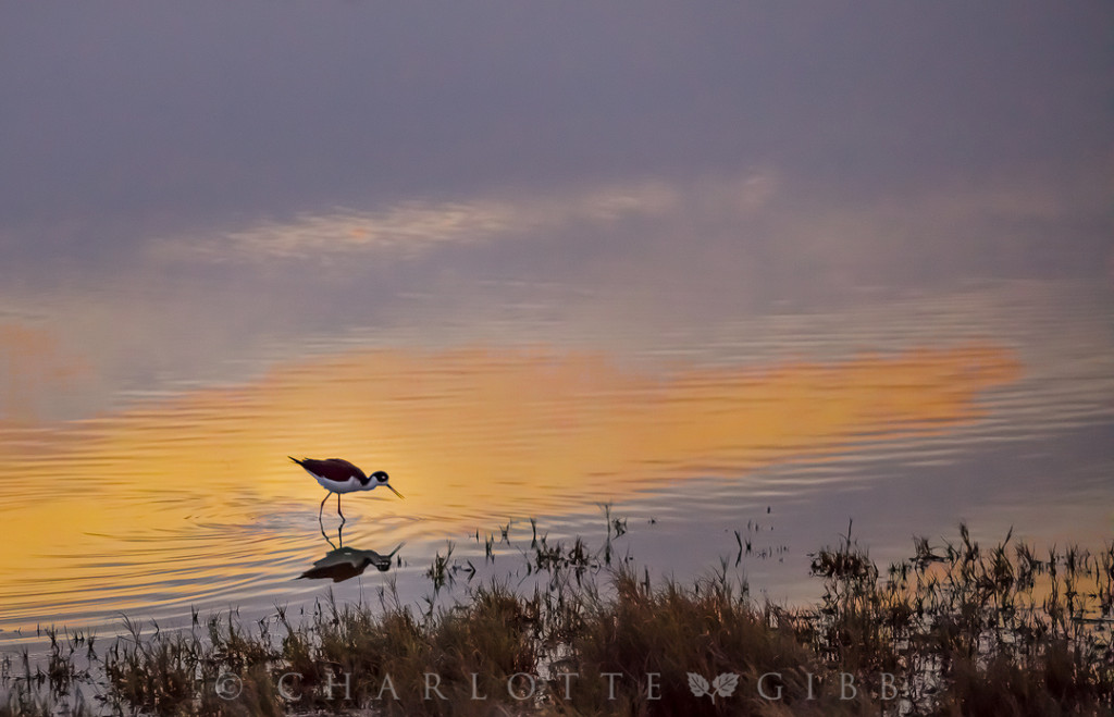 Sunset-Dining-Black-Necked-Stilt