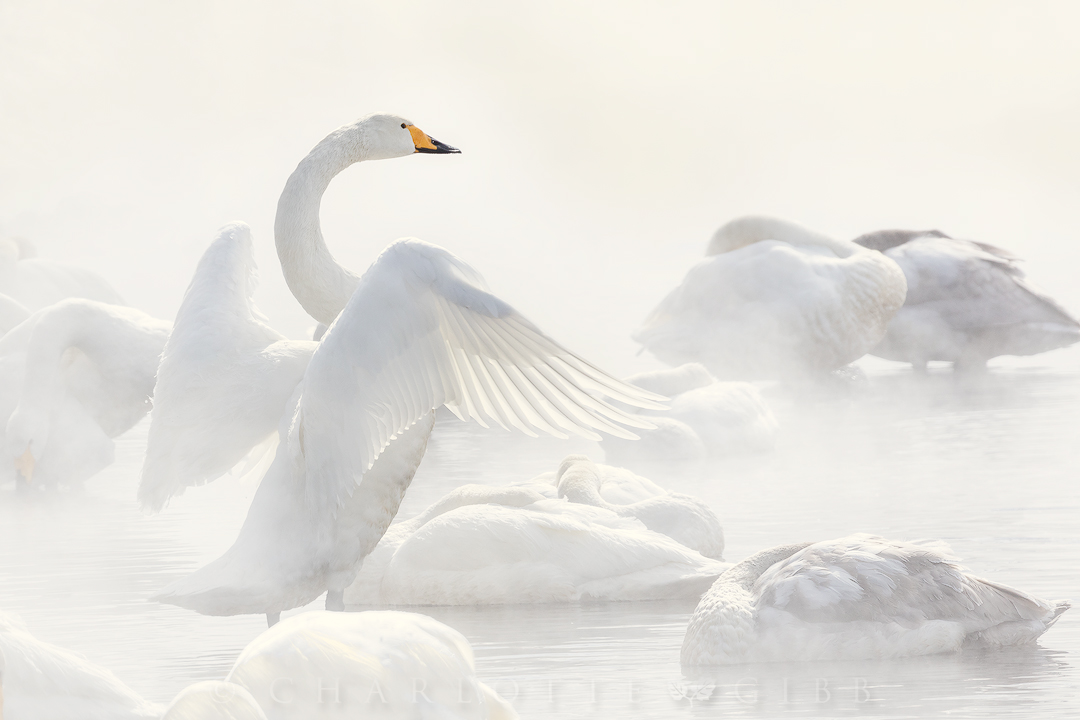 """""""Angel's Wings"""" — A Whooper Swan (pronounced """"hooper swan"""") stretches its wings as it rests along the misty shore of Lake Kussharo on the island of Hokkaido, Japan."""